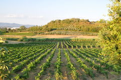 Tuscany Wine sanminiato chianti. Winery and countryside tuscany san miniato with  chianti wine and  agritourismo vineyards Stock Photography