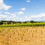 Tuscany Wineyard Royalty Free Stock Photography