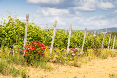 Tuscany Wineyard. Val Orcia, Tuscany region, Italy. The use of roses as insects repellent is still a pratice in Tuscan wineyards Stock Photo