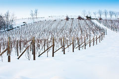 Tuscany: wineyard in winter Stock Photography