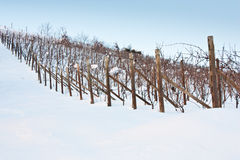 Tuscany: wineyard in winter Royalty Free Stock Photos