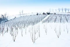 Tuscany: wineyard in winter Royalty Free Stock Image
