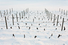 Tuscany: wineyard in winter Royalty Free Stock Photography