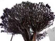 Tusen-år-gamla Dragon Tree, Tenerife, kanariefågelöar, Spanien Arkivbilder