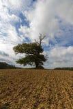 Tusen åriga ek in - mellan ett fält Royaltyfria Bilder