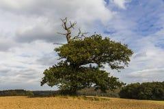Tusen åriga ek in - mellan ett fält Royaltyfri Foto