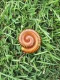 Tusenfoting i gräs Arkivbild