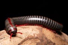 Tusenfoting mång--lade benen på ryggen varelser Arkivfoto