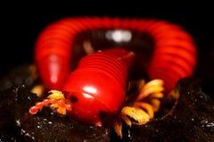 Tusenfoting röda mång--lade benen på ryggen varelser Fotografering för Bildbyråer