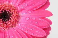 tusensköna Fotografering för Bildbyråer
