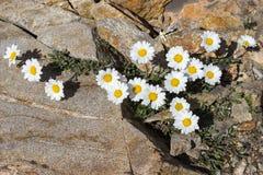 Tusensköna för måne för alpin blommaLeucanthemopsis alpina alpin, Aosta Valley Italien Arkivfoton