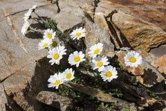 Tusensköna för måne för alpin blommaLeucanthemopsis alpina alpin, Aosta Valley Italien arkivbild