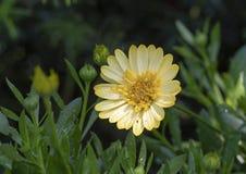 Tusensköna för ` för Sunburst för Osteosermum ` 4D afrikansk, Dallas Arboretum Fotografering för Bildbyråer