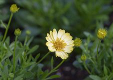 Tusensköna för ` för Sunburst för Osteosermum ` 4D afrikansk, Dallas Arboretum Royaltyfri Bild