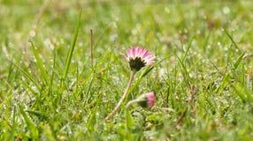 Tusensköna i det daggiga gräset Arkivfoton