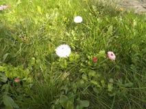 Tusensköna - lösa blommor arkivbilder