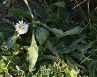 Tusensköna med frost Royaltyfria Bilder
