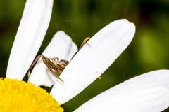 Tusensköna med spindelblick utanför Arkivfoton