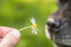 Tusensköna vid näsan av en hund royaltyfri bild