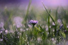 Tusenskönablomma i morgondagg fotografering för bildbyråer
