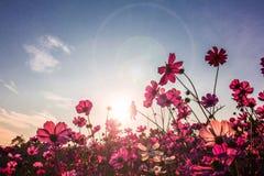 Tusenskönablomma mot den blåa skyen Royaltyfri Fotografi