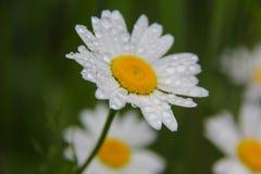 Tusenskönablomma under regn Royaltyfria Foton