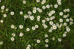 Tusenskönablommabakgrund i vit och gräsplan Royaltyfri Foto