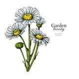 Tusenskönablommateckning Dragen blom- bukett för vektor hand Kamomill royaltyfri illustrationer