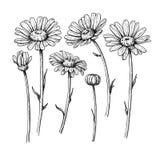 Tusenskönablommateckning Dragen inristad blom- uppsättning för vektor hand Cha vektor illustrationer