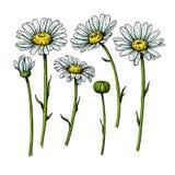 Tusenskönablommateckning Dragit blom- objekt för vektor hand Kamomillen skissar uppsättningen wild vektor illustrationer