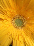 tusenskönan blommar först fokusgerberaen Fotografering för Bildbyråer