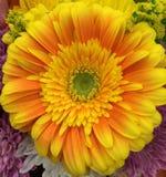 tusenskönan blommar först fokusgerberaen Arkivbilder