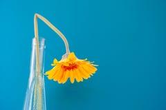 tusenskönan blommar först fokusgerberaen arkivbild