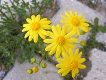 Tusenskönan blommar, trottoarer, dekorativa blommor, naturliga kulöra blommor, dekorativa blommor för staden, blommor mellan sten Fotografering för Bildbyråer
