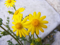 Tusenskönan blommar, trottoarer, dekorativa blommor, naturliga kulöra blommor, dekorativa blommor för staden, blommor mellan sten Royaltyfria Bilder