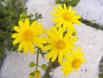 Tusenskönan blommar, trottoarer, dekorativa blommor, naturliga kulöra blommor, dekorativa blommor för staden, blommor mellan sten Arkivfoto