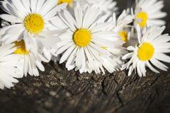 tusenskönan blommar white Arkivfoton