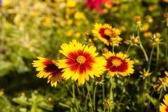 Tusenskönan för guling för filtblomman med den röda mitten kallade Gaillardia pu Arkivfoto
