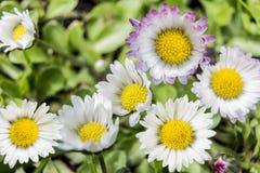 Tusenskönan, vit blomma Arkivbild