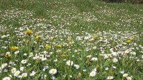 Tusenskönor blommar på fältet på sommardag, grönt gräs detaljer stock video