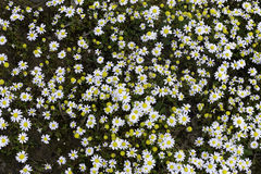 Tusenskönor i det lösa gräset Arkivbild