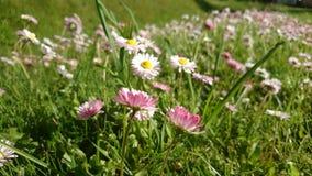 Tusenskönor och växter av släktet Trifolium i äng i Litauen royaltyfri foto
