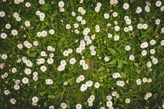 Tusenskönor på en grön gräsmatta Arkivfoto