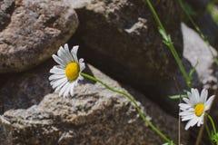 Tusenskönor som växer i det löst i sommaren royaltyfri foto