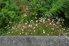 Tusenskönor som växer på sidan av väggen arkivbilder