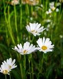 tusenskönor som växer vitt wild Royaltyfria Bilder