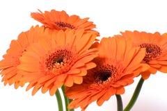 tusenskönan blommar först fokusgerberaen Royaltyfri Fotografi