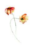 tusenskönan blommar gerber Fotografering för Bildbyråer