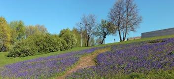 Tusentals blommande blå hyacintMuscari på lutningen av ett s Arkivfoto