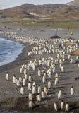 Tusentals konung Penguins som körs från sandstorm Arkivbild